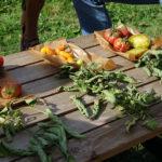 cycle en terre tomates comparaison