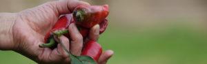 header multiplicateurs piments dans la main